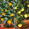 Garden Citrus Tree Collection Thompson & Morgan