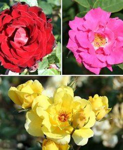 Climbing Rose Collection