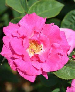 Climbing Rose Zephirine Drouhin