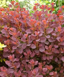 Cotinus coggygria Royal Purple - Smoke Bush