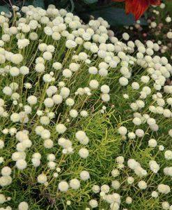 Cotton Lavender Santolina rosmarinifolia Lemon Fizz