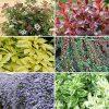Evergreen Shrub Collection