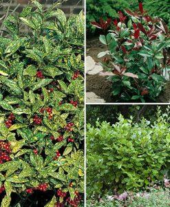 Evergreen Shrub Hedge Mix