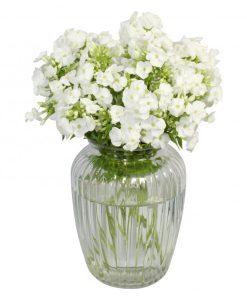 Garden Fantastic Phlox Flowers & Plants Co.