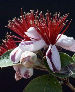 Feijoa sellowiana Pineapple Guava Coolidge