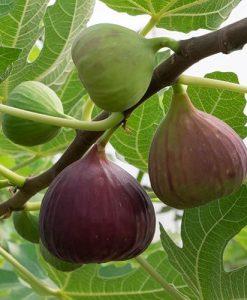 Fig Brown Turkey standard