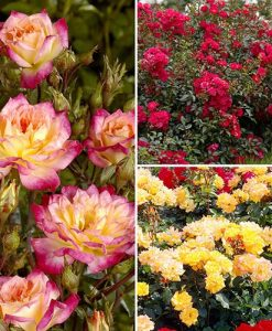 Fruit Salad Groundcover Rose Collection
