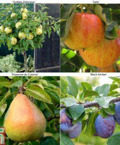 Garden Fruit Tree Collection (Mini Fruit Tree) Thompson & Morgan