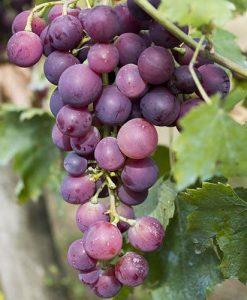 Grape Vine Red Globe