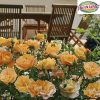 Groundcover Rose Flower Carpet Amber