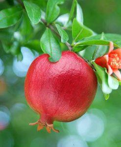 Hardy Pomegranate Bush Chico