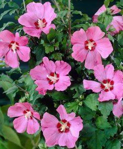 Hibiscus Walbertons Rose Moon Standard