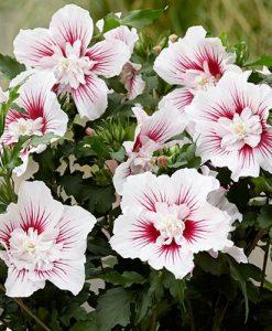 Hibiscus syriacus Starburst Chiffon Rose Mallow Standard