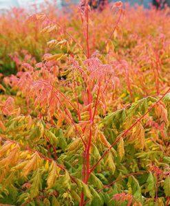 Koelreuteria paniculata Pride of India Coral Sun