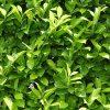 Laurel Hedging - Prunus laurocerasus