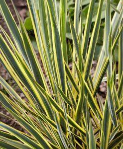 Needle Palm Yucca filamentosa Bright Edge