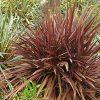 New Zealand Flax Phormium Amazing Red