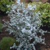 Pair of Eucalyptus gunnii Azura