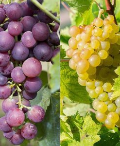 Pair of Table Grape Vines