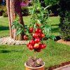 Patio Nectarine Garden Beauty