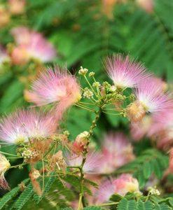 Pink Silk Tree Albizia julibrissin Rosea