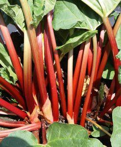 Rhubarb Sanvitos Early