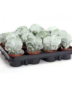 Garden Silver Crown Flowers & Plants Co.