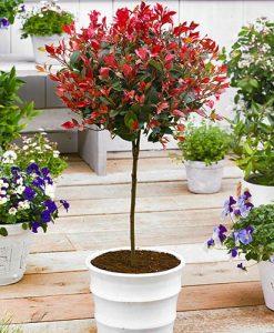 Standard Photinia Red Robin Tree