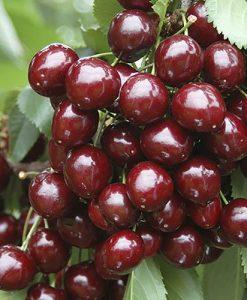 Stella Cherry Tree