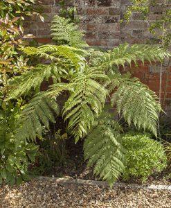 Tree Fern (Dicksonia antractica) Log - 1 foot