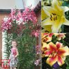 Garden Tree Lily Collection Thompson & Morgan