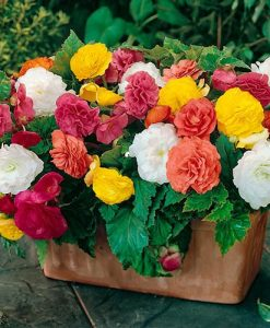 Upright Begonia Non-Stop Mix