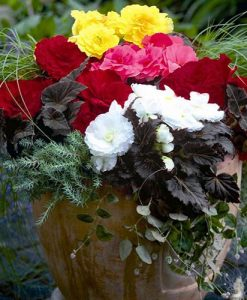 Upright Begonia Non Stop Mocca Mix