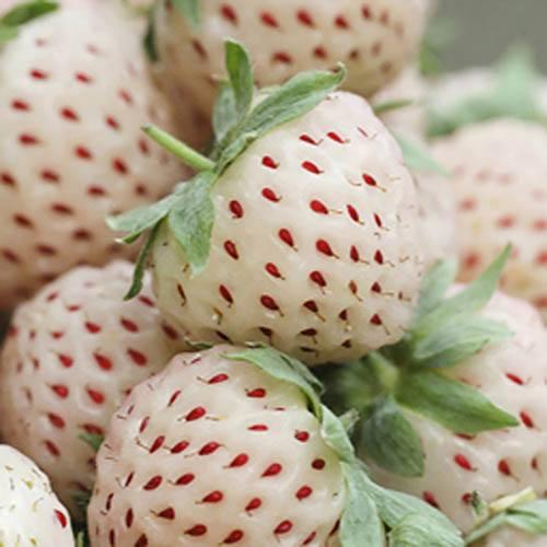 White Strawberry (Pineberry) White Dream